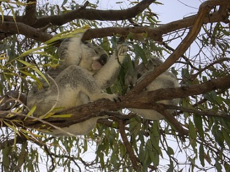 By dronepicr (Koala bear with a child) [CC BY 2.0 (http://creativecommons.org/licenses/by/2.0)], via Wikimedia Commons